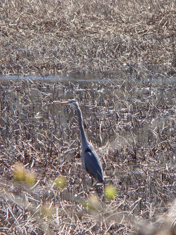 Great Blue Heron along East Towpath - Vischer Ferry Nature and Historic Preserve
