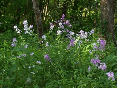 Dame's Rocket (pink and white blooms) along East Pond trail at Vischer Ferry Nature & Historic Preserve