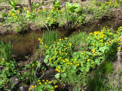 Marsh Marigold in Ushers Road State Forest